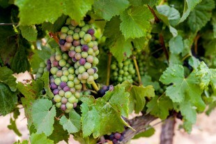Pinot Noir Grapes Vine