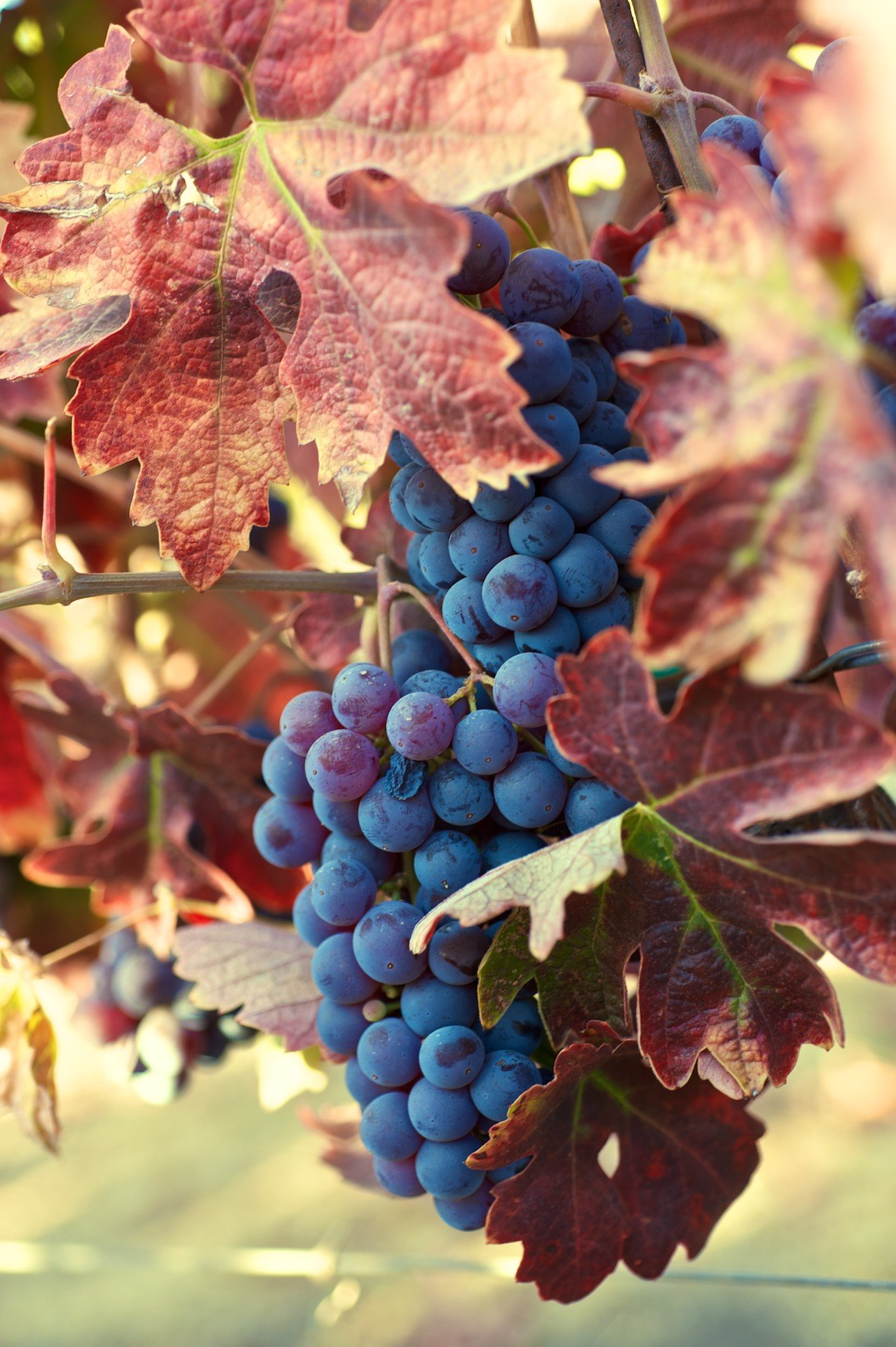 Cinsault Grapes on the Vine